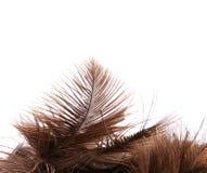 Primer de la pluma de la avestruz del cepillo Foto de archivo