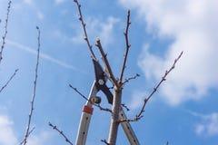 Primer de la poda de la primavera del árbol frutal foto de archivo