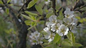 Primer de la primavera floreciente de la huerta del Apple-árbol almacen de video
