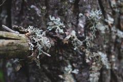 Primer de la rama de árbol seca de pino fotos de archivo