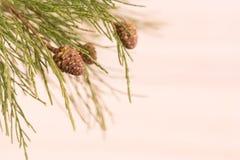 Primer de la rama de árbol de pino Foto de archivo libre de regalías