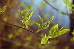 Primer de la rama de la cereza de pájaro Fotos de archivo