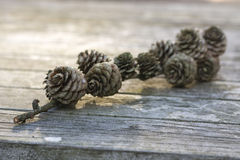 Primer de la rama de los conos del pino en autumnlight foto de archivo