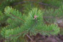 Primer de la rama del abeto con verde del primer del riñón foto de archivo libre de regalías