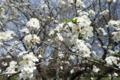 Primer de la rama del cerezo floreciente Imágenes de archivo libres de regalías