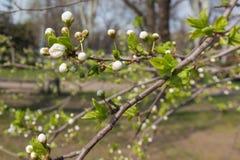 Primer de la rama del cerezo floreciente con las hojas Imágenes de archivo libres de regalías
