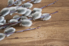 Primer de la rama del sauce de gatito en el fondo de madera del color medio, visión superior, humor de la primavera Fotografía de archivo libre de regalías