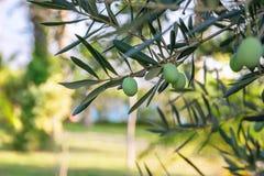 Primer de la rama de olivo y de la opinión del mar sobre fondo Imagenes de archivo