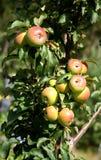 Primer de la ramificación del manzana-árbol Foto de archivo