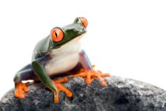 Primer de la rana en blanco fotografía de archivo