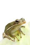 Primer de la rana en la hoja fotografía de archivo libre de regalías