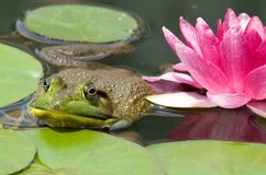 Primer de la rana mugidora Fotografía de archivo