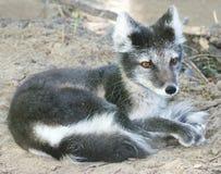 Primer de la reclinación del zorro ártico Imagen de archivo libre de regalías