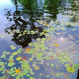 Primer de la reflexión del río del lago de los lirios de charca de agua imagen de archivo
