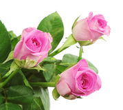 Primer de la rosa de tres rosas Fotos de archivo