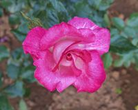 Primer de la rosa del rosa en los jardines fotografía de archivo libre de regalías