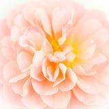 Primer de la rosa del rosa Imagenes de archivo