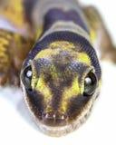 Primer de la salamandra foto de archivo libre de regalías