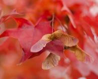 Primer de la semilla del arce en rama del ab con follaje en la paleta roja i imágenes de archivo libres de regalías