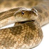 Primer de la serpiente de rata, Malpolon Monspessulanus Foto de archivo libre de regalías