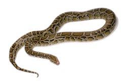 Primer de la serpiente del pitón Imagen de archivo libre de regalías