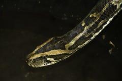Primer de la serpiente que se inclina abajo al agua vergonzosa Imágenes de archivo libres de regalías
