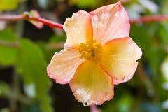 Primer de la sola flor amarilla rosada del hibisco Fotos de archivo