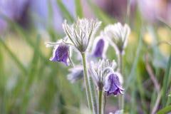 Primer de la sueño-hierba de los patens del Pulsatilla en un fondo brillante borroso fotografía de archivo libre de regalías
