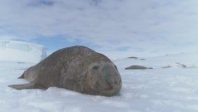 Primer de la superficie de la nieve de la Antártida del resto del sello de elefante metrajes