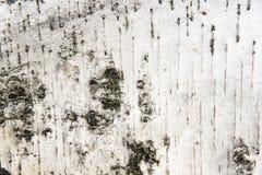 Primer de la textura de la corteza de abedul Imagenes de archivo