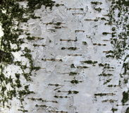 Primer de la textura de la corteza de abedul, documento de información natural Fotos de archivo