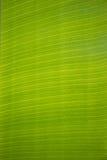 Primer de la textura de la hoja del plátano Fotografía de archivo libre de regalías