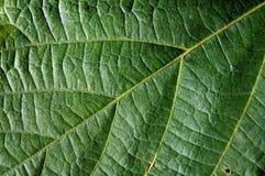 Primer de la textura de las venas de la hoja Foto de archivo