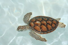 Primer de la tortuga del agua Foto de archivo