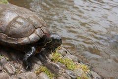 Primer de la tortuga del agua dulce Imagen de archivo