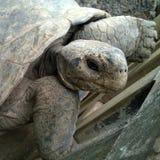 Primer de la tortuga gigante Imagen de archivo libre de regalías