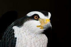 Primer de la trampa del halcón Fotografía de archivo