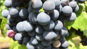 Primer de la uva oscura de la vid con la floración en el manojo que crece en el viñedo metrajes
