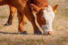 Primer de la vaca de Hereford que pasta Fotografía de archivo