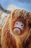 Primer de la vaca de la montaña en tierras bajas holandesas Fotos de archivo libres de regalías