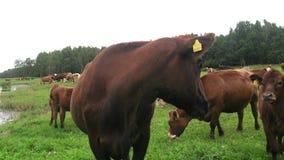 Primer de la vaca en el prado, dueños marcados con etiqueta almacen de metraje de vídeo
