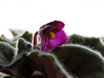Primer de la violeta africana Foto de archivo libre de regalías