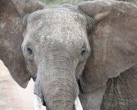 Primer de la vista delantera del elefante Imágenes de archivo libres de regalías