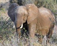 Primer de la vista delantera del elefante Fotos de archivo libres de regalías