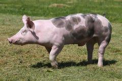 Primer de la vista lateral de un cerdo de la raza del Duroc-Jersey en la granja foto de archivo libre de regalías