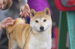 Primer de Laika del perro Fotos de archivo libres de regalías