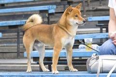 Primer de Laika del perro Imagen de archivo