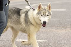 Primer de Laika del perro Foto de archivo