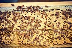 Primer de las abejas que capsulan las células en colmena Imagenes de archivo