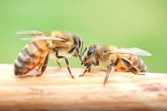 Primer de las abejas que comen la miel Foto de archivo libre de regalías